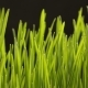 Growing Wheat Seeds Agriculture - VideoHive Item for Sale