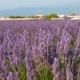 Lavender Fields Flowers Swing in the Wind