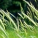 Slow Movement of Cones of Green Wheat . In a Sunny Day in the Spring - VideoHive Item for Sale