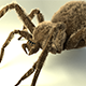 Shaggy spider