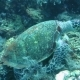 Hawksbill Sea Turtle Current on Coral Reef Island Bali. - VideoHive Item for Sale