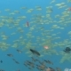 Thriving Coral Reef Alive with Marine Life and Shoals of Fish, Bali - VideoHive Item for Sale