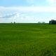 Countryside Natural Background. Field with Wheat Germ. Cloudscape in Spring Sunny Day. Russia.
