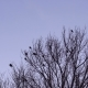 Flock of Birds Flew from the Tree - VideoHive Item for Sale