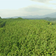 Flyover a Rubber Tree Estate Plantation - VideoHive Item for Sale