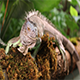 Large Green Iguana Male - VideoHive Item for Sale