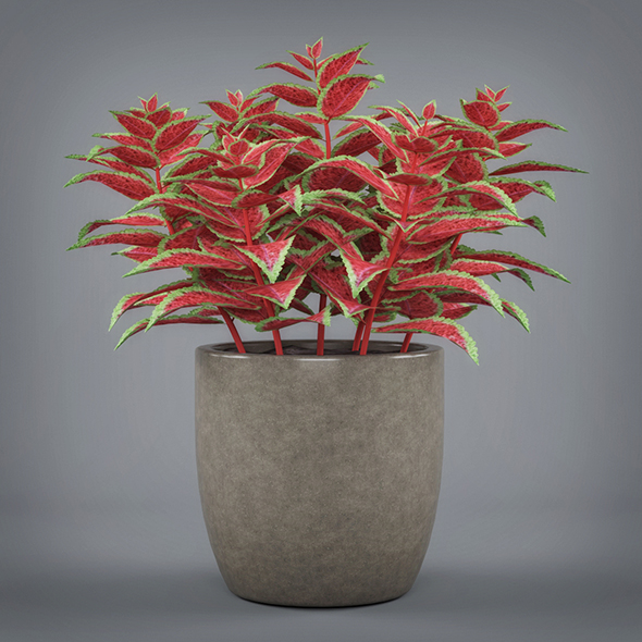 Potted Coleus Plant - 3DOcean Item for Sale