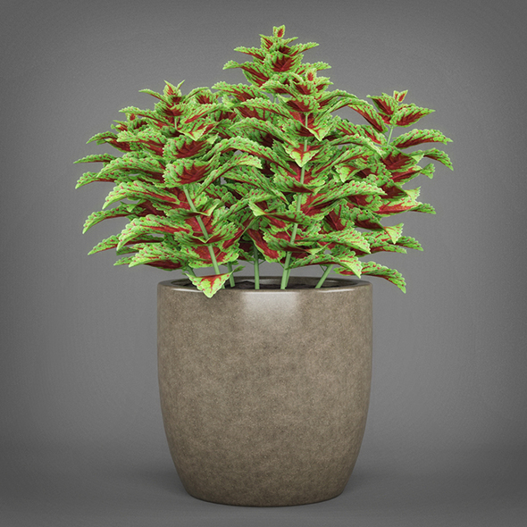 Potted Green Coleus Plant - 3DOcean Item for Sale