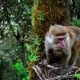Srilankan Toque Macaque or Macaca Sinica - VideoHive Item for Sale