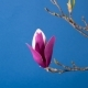 Magnolia Tree Blossom - VideoHive Item for Sale