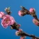 Flowering Branch of a Peach Tree - VideoHive Item for Sale