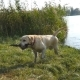 Labrador Walking Out of River. Dog Fetching Stick From the Water