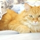 Cute Ginger Cat Lying in Bed Under a Blanket. Fluffy Pet Comfortably Settled To Sleep. Cozy Home