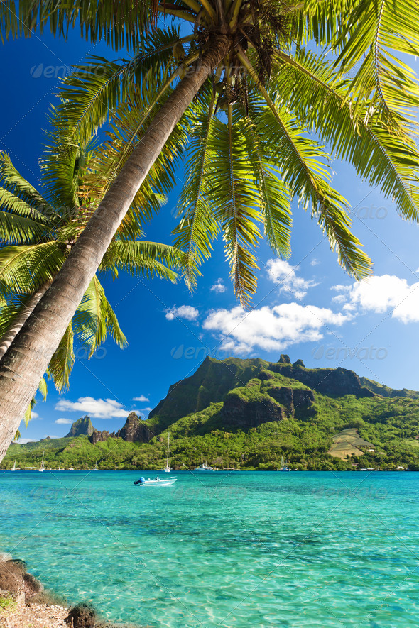 Palm Trees on Shoreline of Ocean at Moorea - Stock Photo - Images