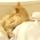 Cute Ginger Cat Licking Itself on a Beige Couch. Fluffy Pet Comfortably Settled To Sleep. Cozy Home - VideoHive Item for Sale