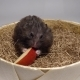 Hamster Sitting on Hay and Eating Red Apple. - VideoHive Item for Sale
