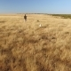 Pointer Pedigree Dogs Running with Hunter Over Wheat Field