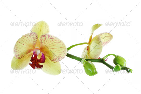 Orchid - Stock Photo - Images