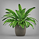 Potted Peace Lily Plant - 3DOcean Item for Sale