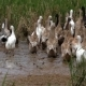 Gaggle Rushing in the Field - VideoHive Item for Sale