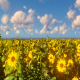 SunFlowers Landscape - VideoHive Item for Sale