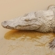 Crocodiles Resting at Crocodile Farm in Vietnam - VideoHive Item for Sale
