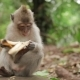Little Monkey Eats Banana. Monkey Forest in Ubud, Bali, Indonesia. - VideoHive Item for Sale