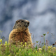 young marmot on alpine meadow - PhotoDune Item for Sale