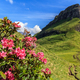 rhododendron flowers in Dolomites - PhotoDune Item for Sale