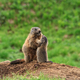 Female marmot with young - PhotoDune Item for Sale