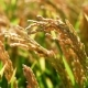 Cereal Field. Rice Plants Before the Harvest - VideoHive Item for Sale