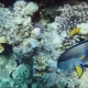 Amazing Underwater World of Coral and Exotic Fish Fish Surgeon Swims By - VideoHive Item for Sale
