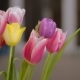 Beautiful Multicolored Tulips Bloom Indoor - VideoHive Item for Sale