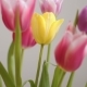 Beautiful Multicolored Tulips Bloom Isolated - VideoHive Item for Sale