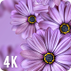 Purple Daisy Flowers Background 4K Nulled