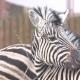Animal Zebra Striped Animal