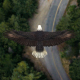 Eagle Flying Over A Forest - VideoHive Item for Sale