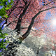 Blossoming Sakura - VideoHive Item for Sale