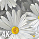 White Daisy Flowers Background 4K Nulled