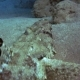 Tentacled Flathead in the Red Sea, Egypt - VideoHive Item for Sale