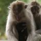 Sleeping Monkeys. with Cub. Monkey Forest in Ubud Bali Indonesia.