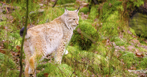 Beautiful european lynx cub walking in the forest - Stock Photo - Images