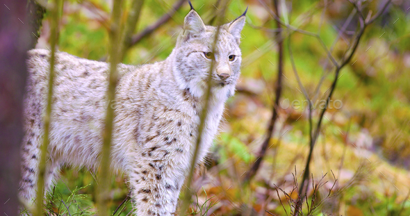 Young and playfull lynx cat standing in the forest - Stock Photo - Images