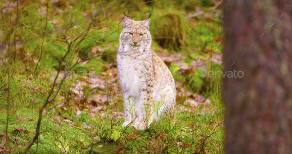 Proud young european lynx sits in the autumn forest - Stock Photo - Images
