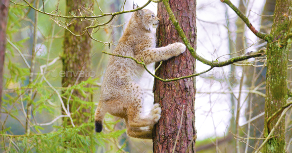 Playfull lynx cat cub climbing in a tree in the forest - Stock Photo - Images
