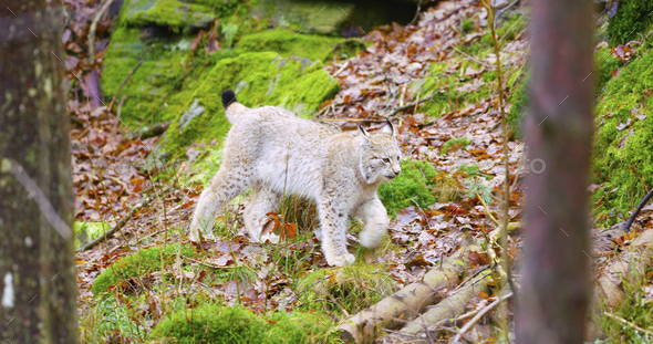 European lynx cub walking in the forest - Stock Photo - Images