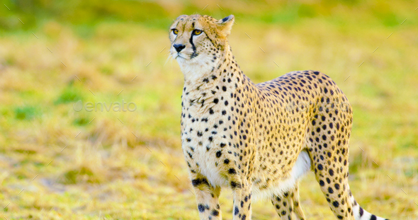 Close-up of adult cheetah looking after enemies - Stock Photo - Images