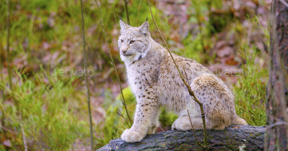 European lynx sits in the autumn forest - Stock Photo - Images