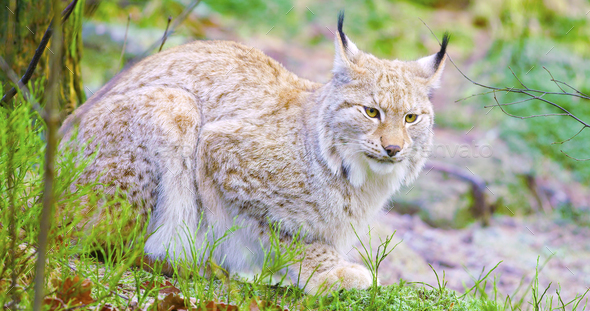 European lynx cat lies in the forest at early winter - Stock Photo - Images