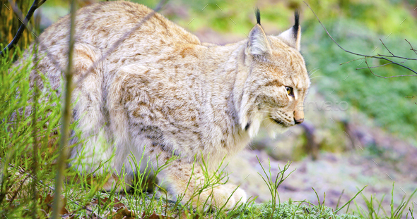 One european lynx cat lies in the forest at early winter - Stock Photo - Images